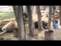 [294] Homs, As-Saan: Massacre against the Village's Animals 1 5 2012 [EN,FR,RU]